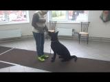 Немецкая овчарка Абби. Занятие по дрессировке (начальный уровень)обучение командам стоять, сидеть, лежать.Тольятти,8октября2017