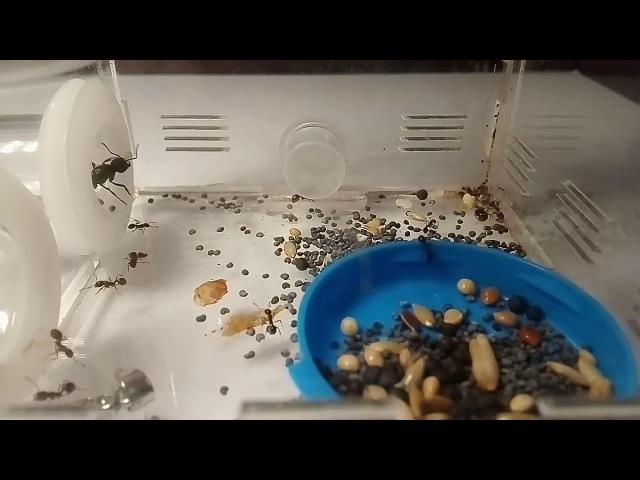 Жизнь муравьев жнецов | messor structor