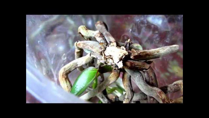 Орхидеи. Лучший метод размножение корнями.Часть 3.\ Orchids. Reproduction by roots. Part 3.