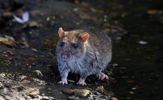 Крысы атакуют Севастополь