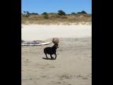 Собака-жонглер на пляже