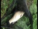 (видео)-26-05-2017г-рыбалка в поветкино.Серёга отхватил карася на 1кг 100гр.
