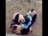 Злобные панды нападают на людей.