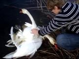 Лебеди попросили помощи у людей.