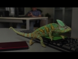 Забавный хамелеон меняет цвета