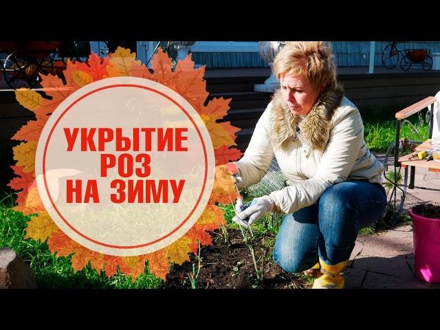 Розы уход обрезка укрытие подготовка к зимовке 🌺 Как правильно сделать сухое укрытие?