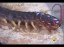 Giant centipede vs black tarantula battling bug insect fight