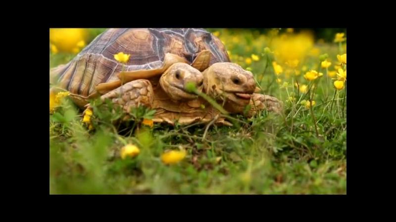 двухголовая черепаха .....