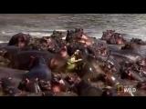 Бегемоты напали на крокодила