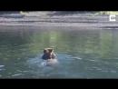 Медведица с медвежатами на спине переплывают реку
