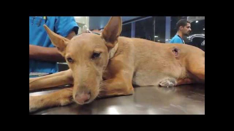Лечение миаза у собаки в результате ранения при встрече с диким кабаном