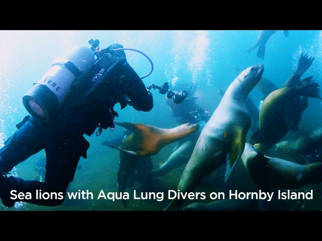 Sea Lions with Aqua Lung Divers on Hornby Island