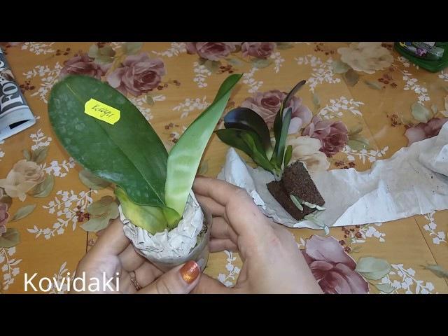 Покупка и посадка подростков орхидеи Эллен и Клоун