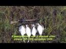 Охота на утку с ружьем МР 155 на севере Республики Коми яркие моменты!!