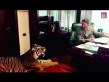 Запашный шокировал сеть видео, где тигр спокойно заходит к нему в кабинет