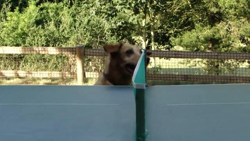 Собака следит за игрой в теннис
