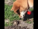 Dog meets gopher 984599