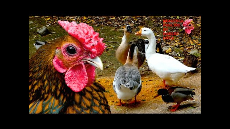 TOP20 MOST BEAUTIFUL BACKYARD POULTRY, rare breeds of chicken, geese, ducks, pigeons film