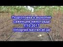 ПОДГОТОВКА К ВЫКОПКЕ САЖЕНЦЕВ ВИНОГРАДА. 01.10.2017 года.