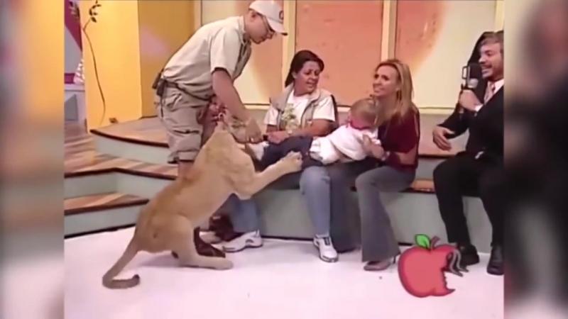 Лев пытается убить ребенка в прямом эфире ,а мать смеется