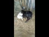 теленок и шаман 2