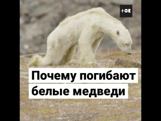 Белые медведи умирают от голода
