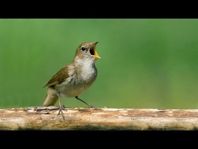 Восхитительный дуэт Пение соловья и дрозда Пение птиц для засыпания