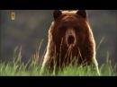 Животный мир. Волки парка. Бизоны Америки. Внимание стада. Голодный гризли. Древн...