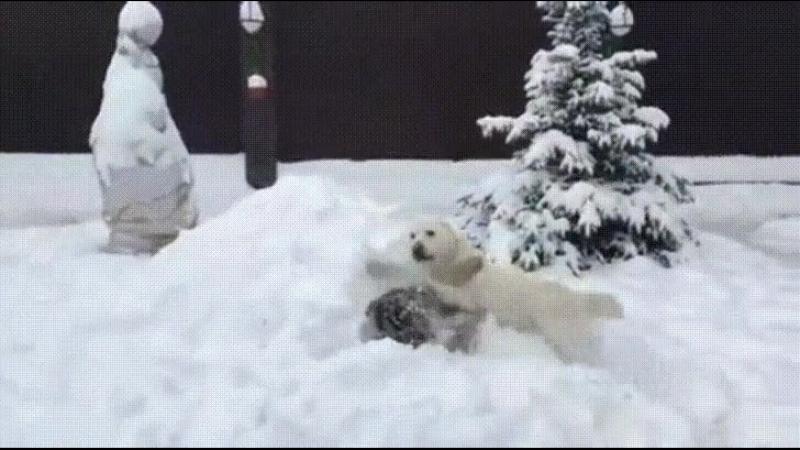 алабай играет с тигром в снегу