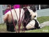 Неуклюжие и прикольные панды