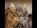 Siberian kitten, name - Ilittle Mouse Znatniy Zver