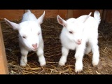 Cute Baby Goats - A Cutest And Funny Goats Baby Videos Compilation|| NEW HD