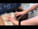 Анемия и переливание крови у собаки Anemia and Blood Transfusion Dog