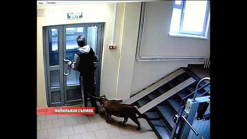 Житель Московского района Нижнего Новгорода вывел на прогулку леопарда смотреть онлайн без регистрации