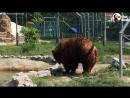 Долгих пять лет на медведицу натравливали собак, готовя их к охоте...