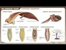 Урок Тип Плоские черви
