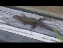 В мире животных - Ставровская ящерица