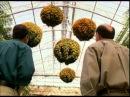 Хризантема история виды уход Цветы как чудо Дача ТВ