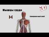 Поверхностные мышцы груди (детальный обзор)