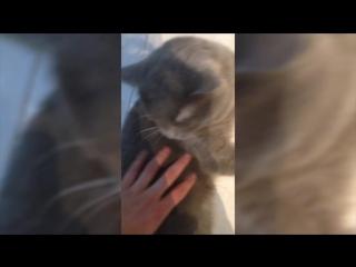 How do British cats sound like  Как звучат британцы