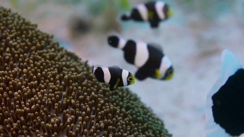 Семья рыб-клоунов - В поисках нового дома
