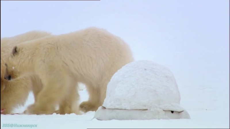 BBC «Медведь: Шпион леса» (Документальный, природа, животные, 2004)