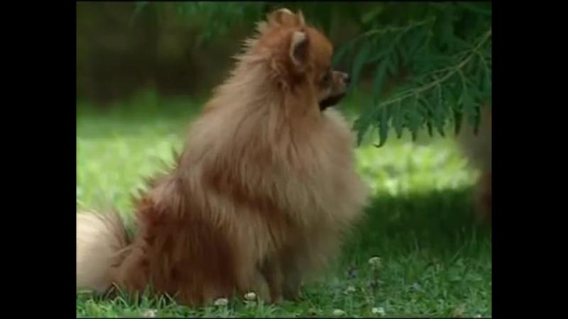 Породы собак. Шпиц. Изобретательные собаки