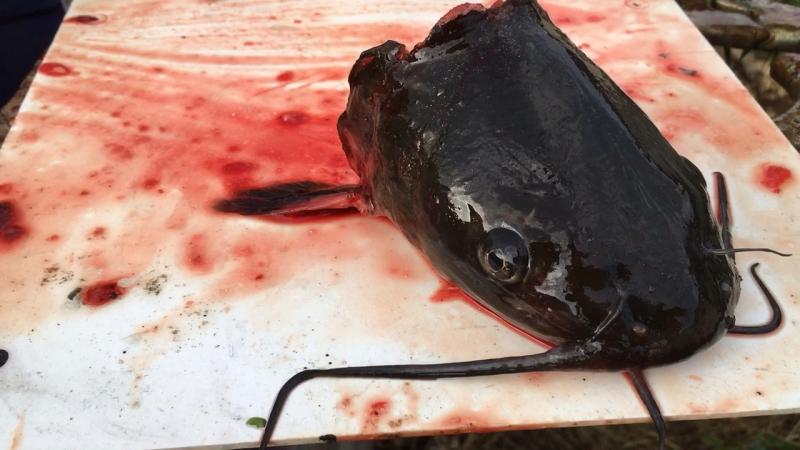 Треш, живая бошка от рыбы. Слабонервным рыбам не смотреть 18