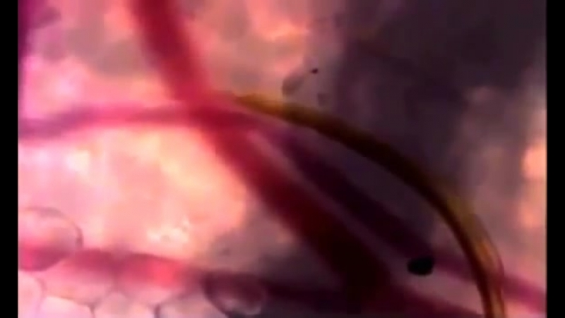 Комар нащупывает кровеносный сосуд в тканях