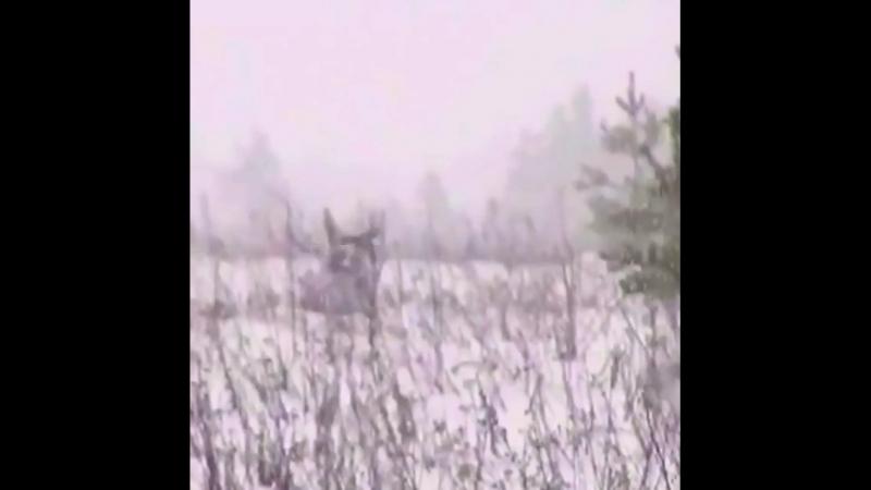 ❗️И такое бывает на охоте) Отличный выстрел) И зверь целый❗️