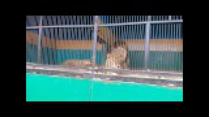 Львы в зверинце. Пикантный момент