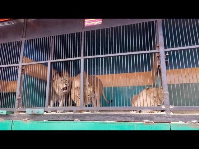 Львы в зверинце, г. Слуцк