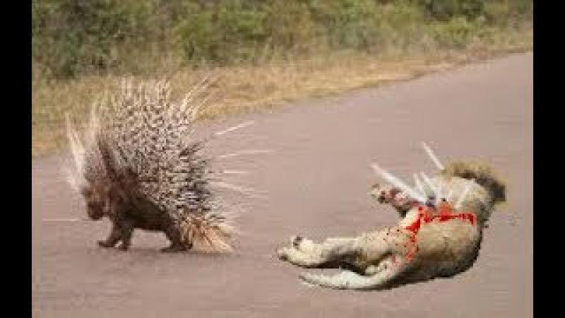 Ai mà ngờ Vua nhím có thứ vũ khí đáng sợ như thế chấp cả đàn Sư tử - Lion vs Popcupine