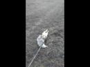 Днровский пес